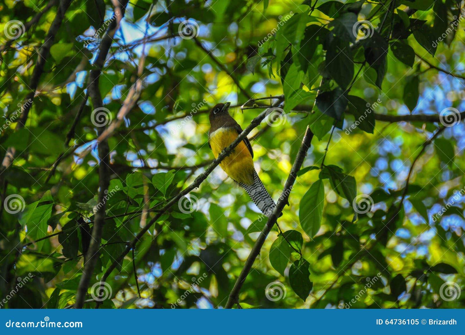 Uccello giallo, parco nazionale di Corcovado, Costa Rica