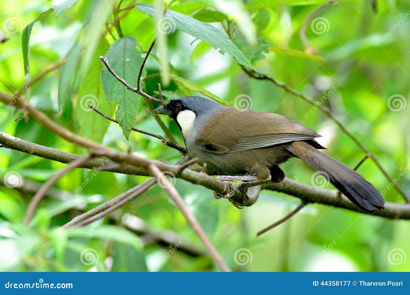 Uccello (Laughingthrush golanera), Tailandia