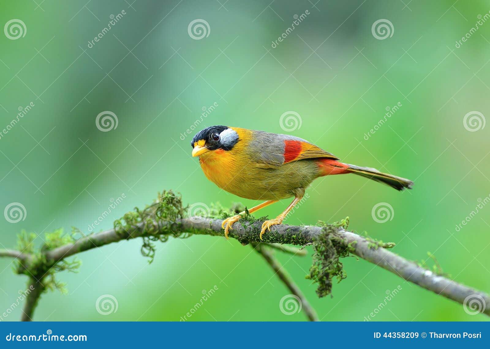 Uccello (Mesia Argento-eared), Tailandia