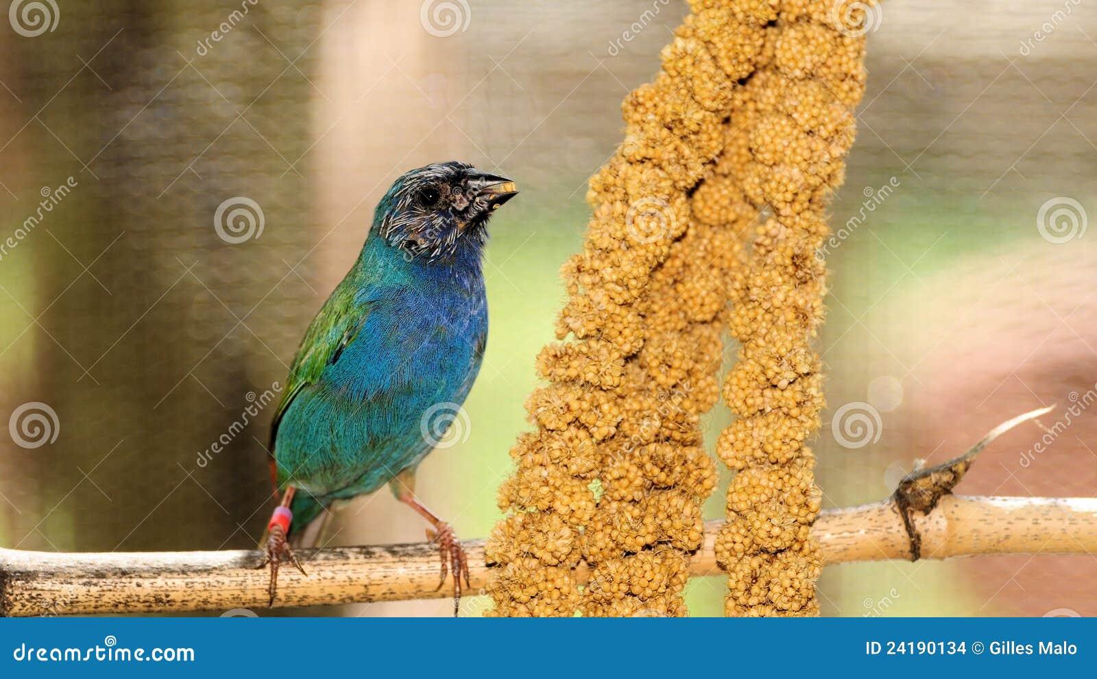 Uccello, Parrotfinch Blu-affrontato