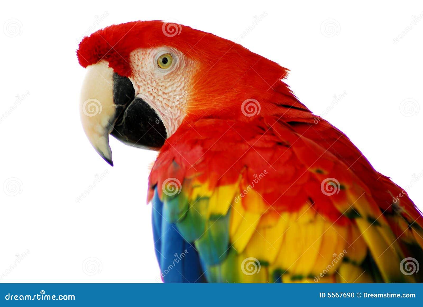 Uccello rosso del Macaw isolato