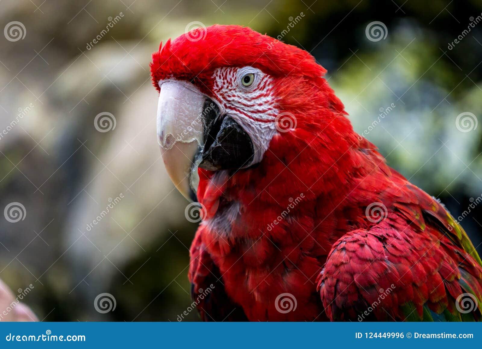 Uccello rosso dell ara con bokeh