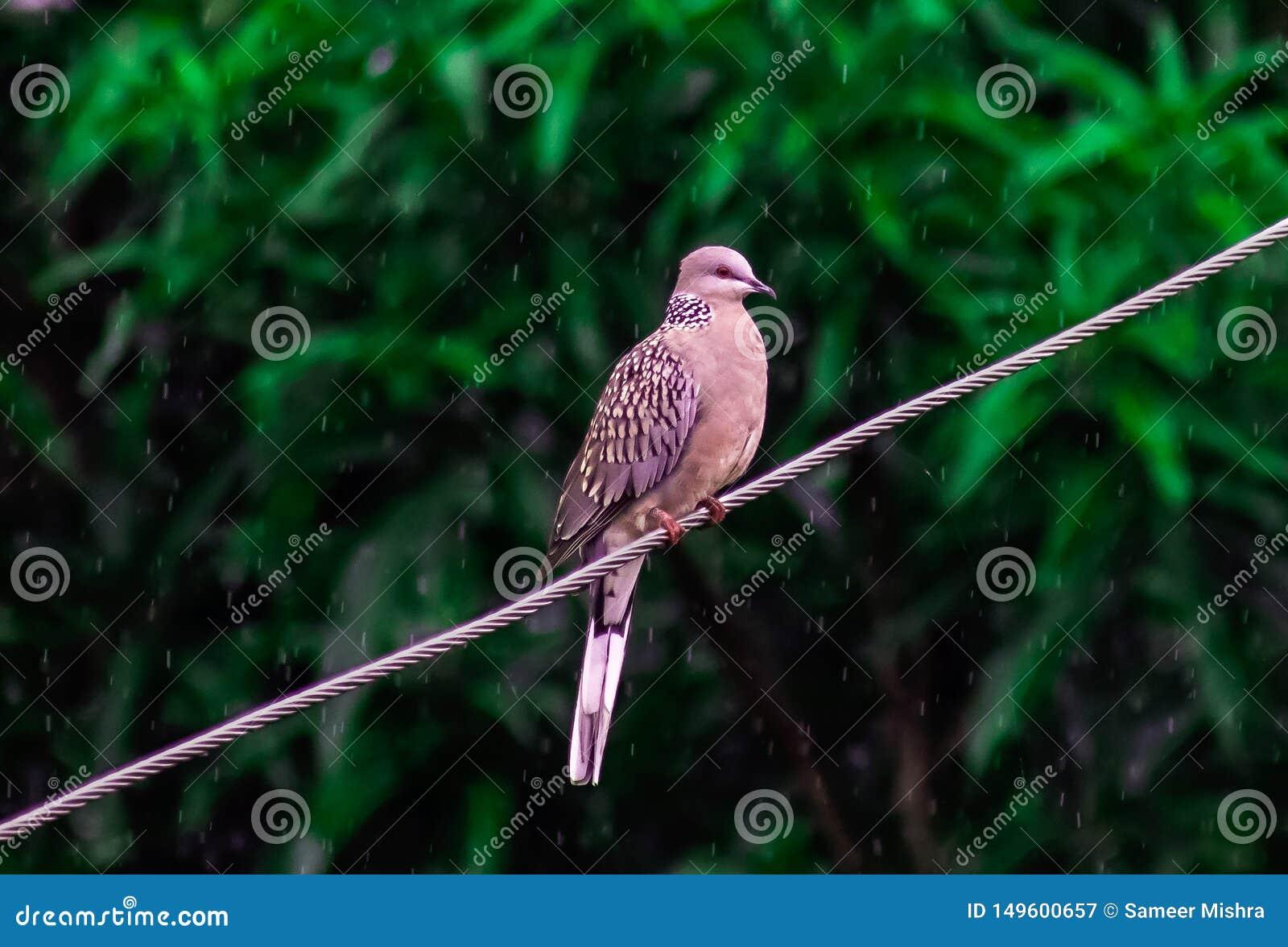 Uccello selvaggio del piccione in pioggia sul monsone India del cavo