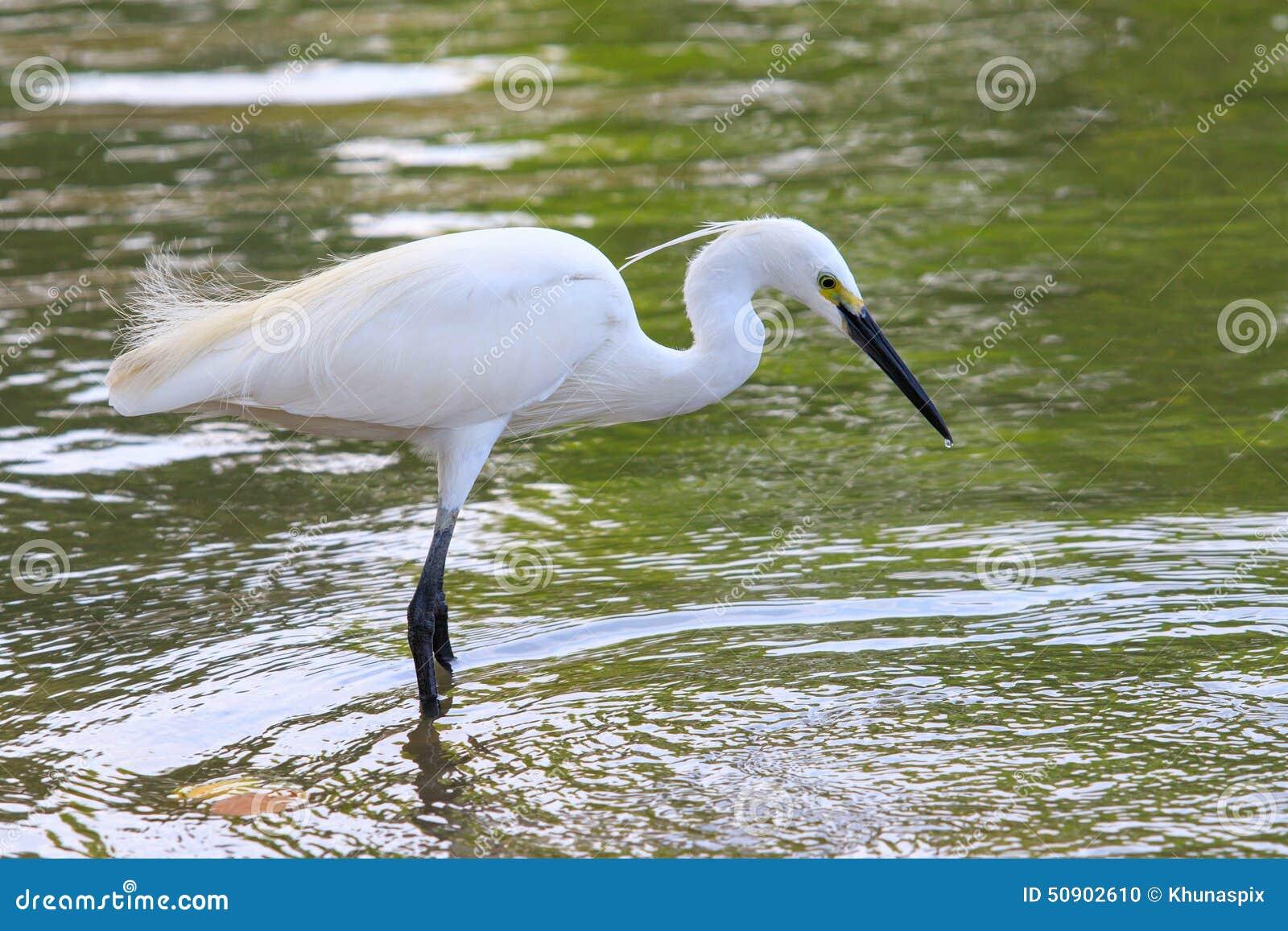 uccello selvaggio dell 39 egretta che si alimenta nell 39 uso