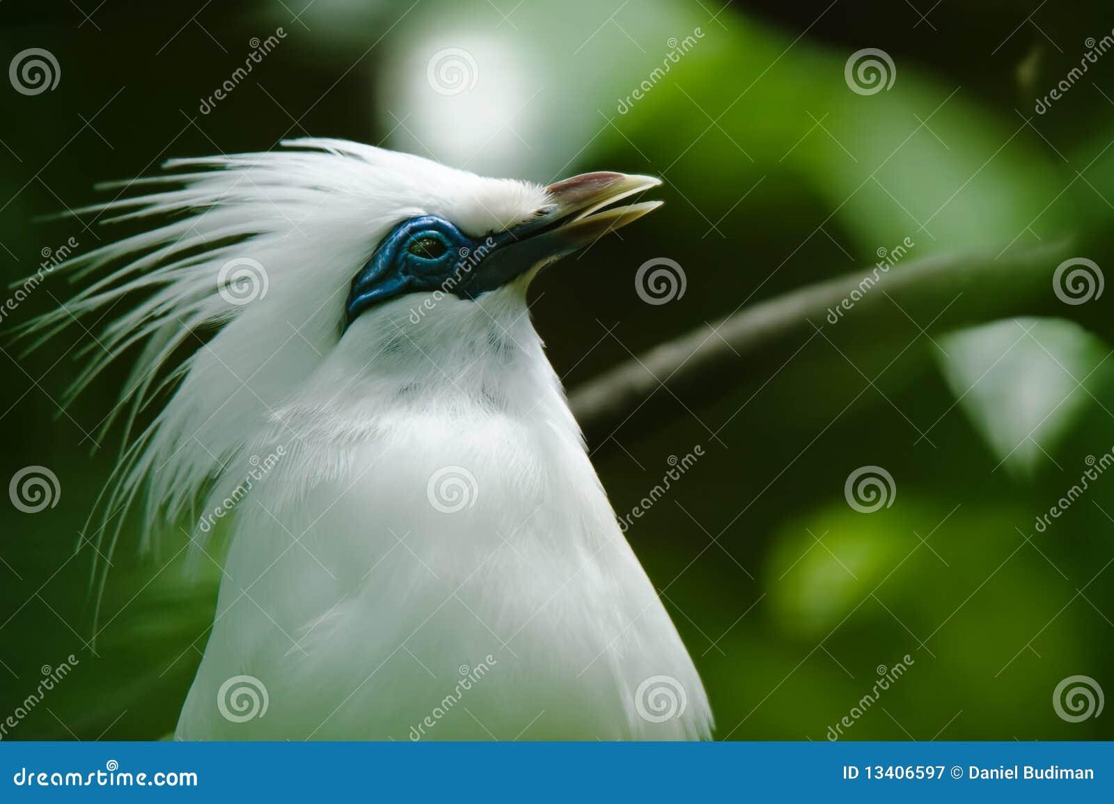 Uccello starling del Bali