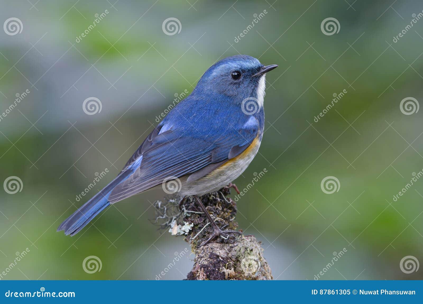 Uccello, uccello blu, rufilatus himalayano maschio di Bluetail Tarsiger