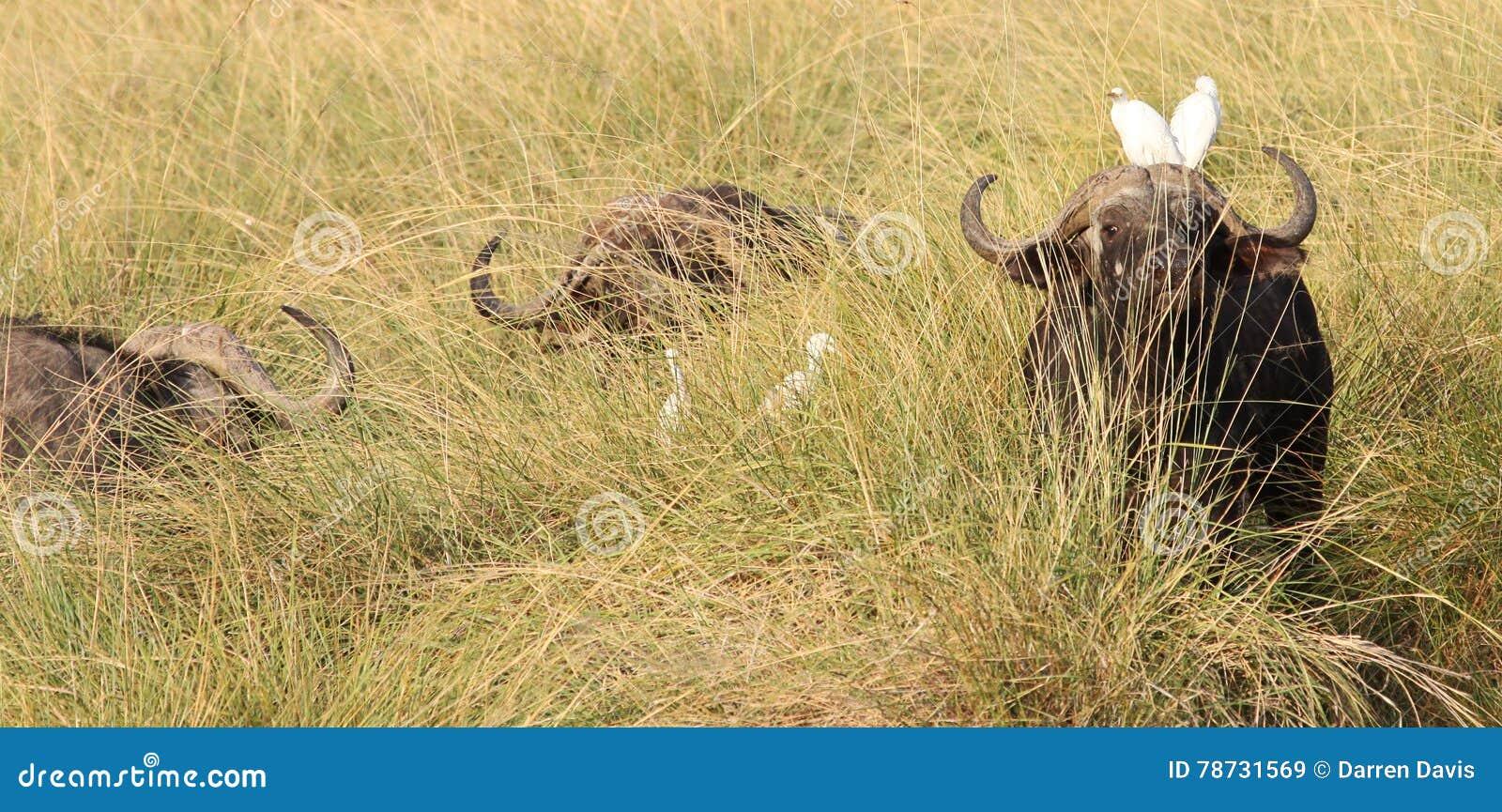 Uddebuffel i långt gräs med nötkreaturägretthägret på dess huvud