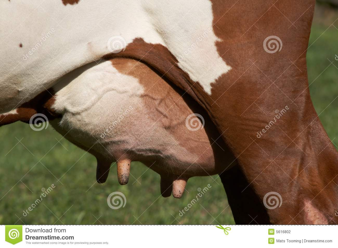 Udder stock photo. Image of brown, meadow, flies, white - 5616802