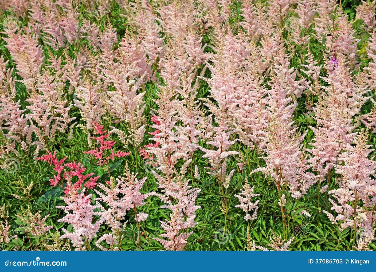 Download Udziałów Kwiatostany Różowy Astilbe Obraz Stock - Obraz złożonej z terry, 1: 37086703