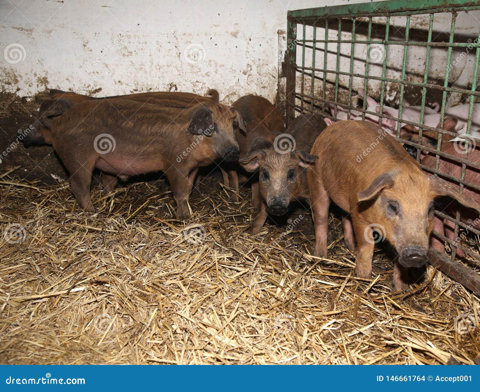 Udzia? nowonarodzeni prosiaczki przy ?yciorys zwierz?cym gospodarstwem rolnym