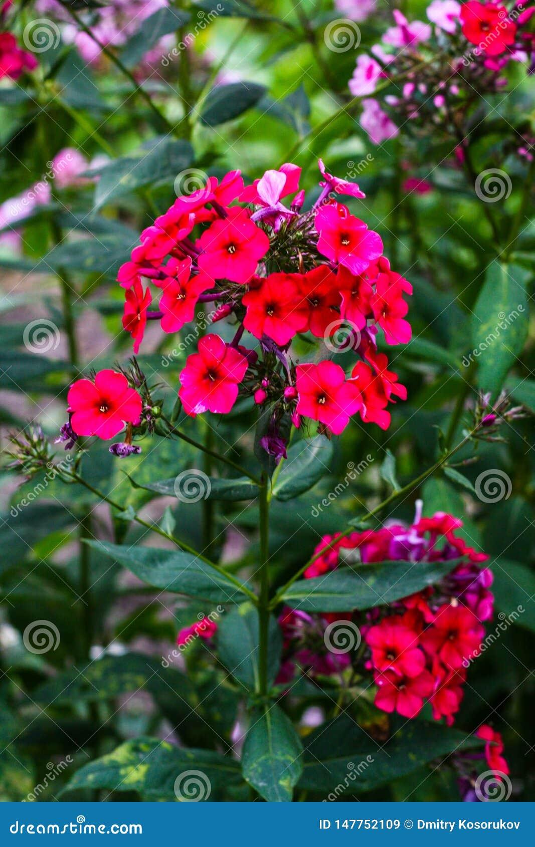 Udzia?y purpurowi mali kwiaty