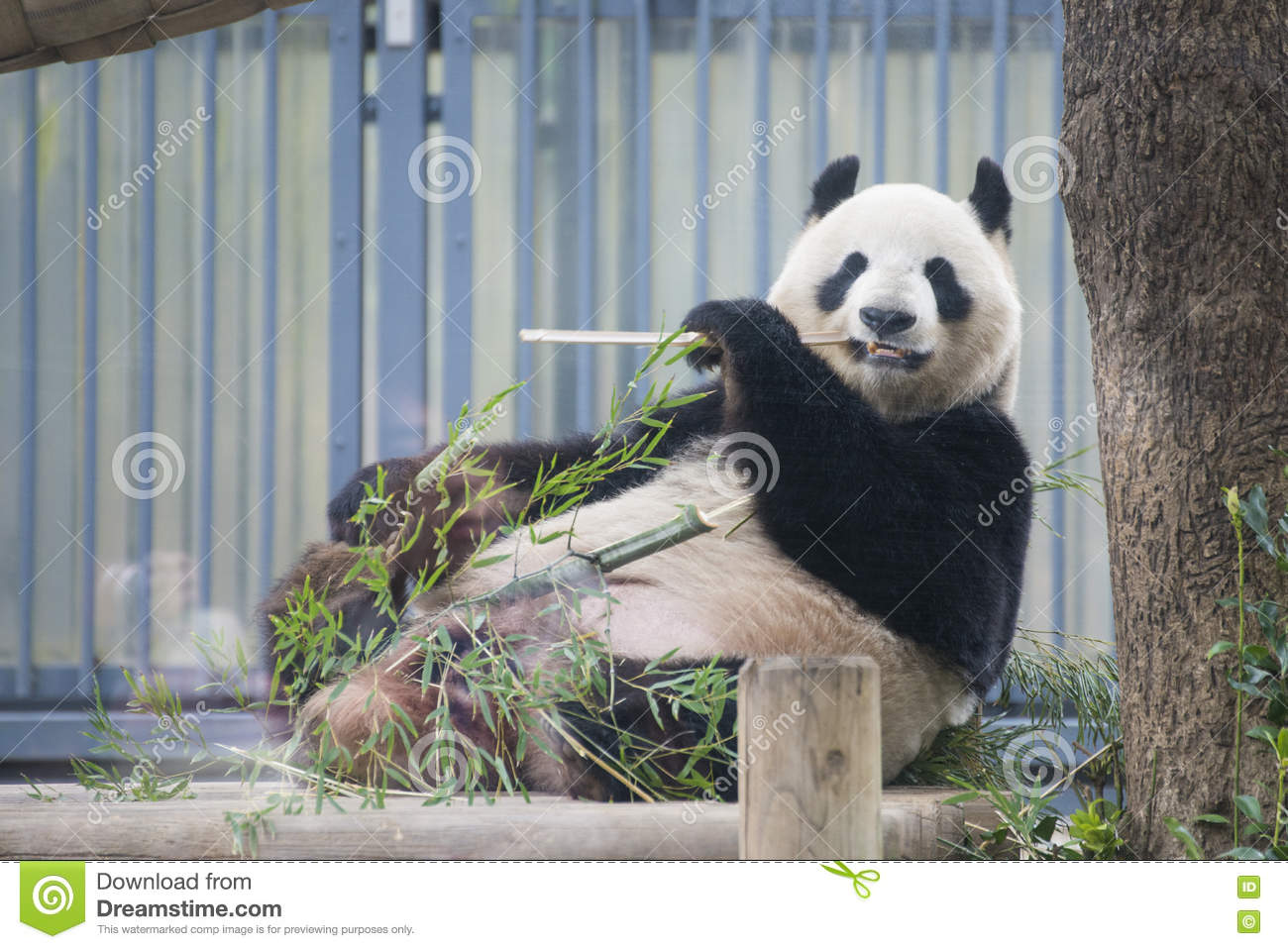 Ueno, Japan - February 24, 2016 : Giant panda bear eating fresh
