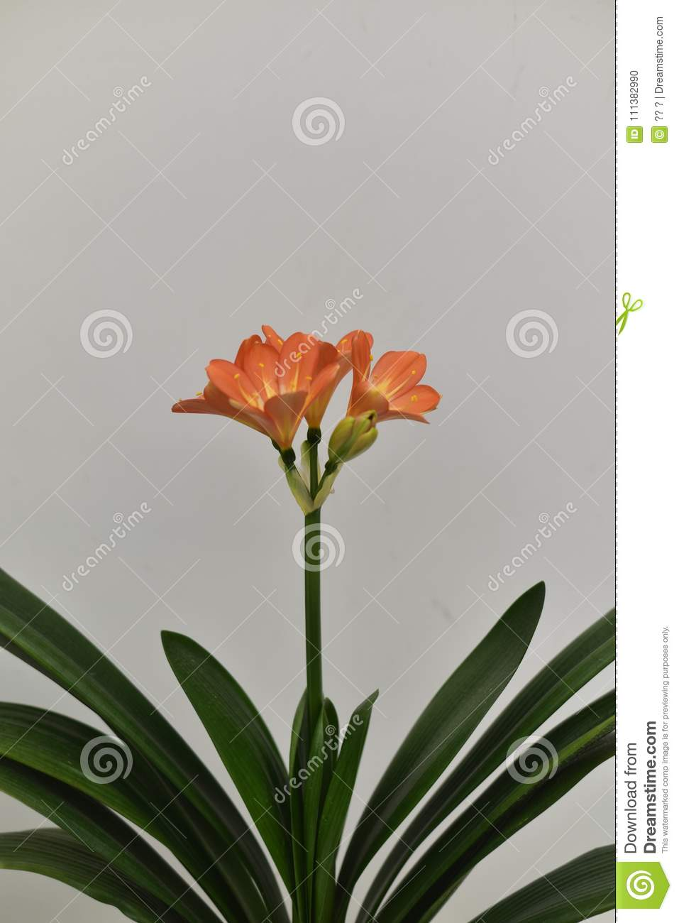 Rare clivia open in winter stock photo image of namednnnoble for the uezhu fumiyajunxiu of clivia red spider lily with a gentleman charm flowers such as orchids named noble of the meaning of clivia flower izmirmasajfo
