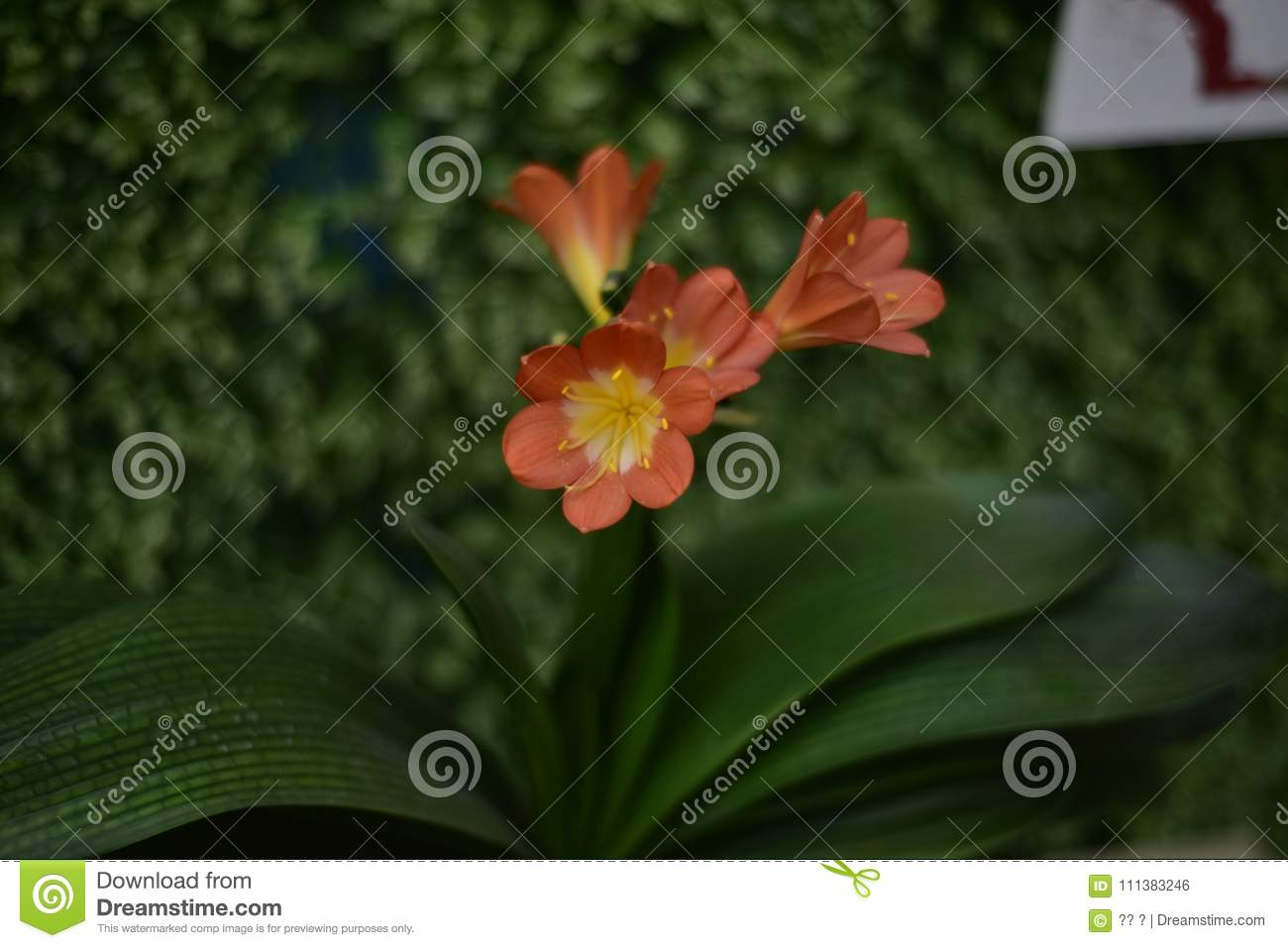 Rare clivia open in winter stock photo image of latin 111383246 for the uezhu fumiyajunxiu of clivia red spider lily with a gentleman charm flowers such as orchids named noble of the meaning of clivia flower izmirmasajfo