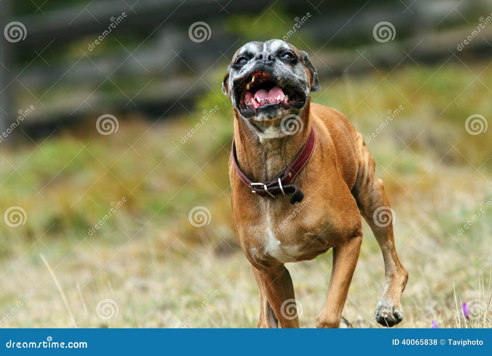 Angry boxer dog teeth - photo#16
