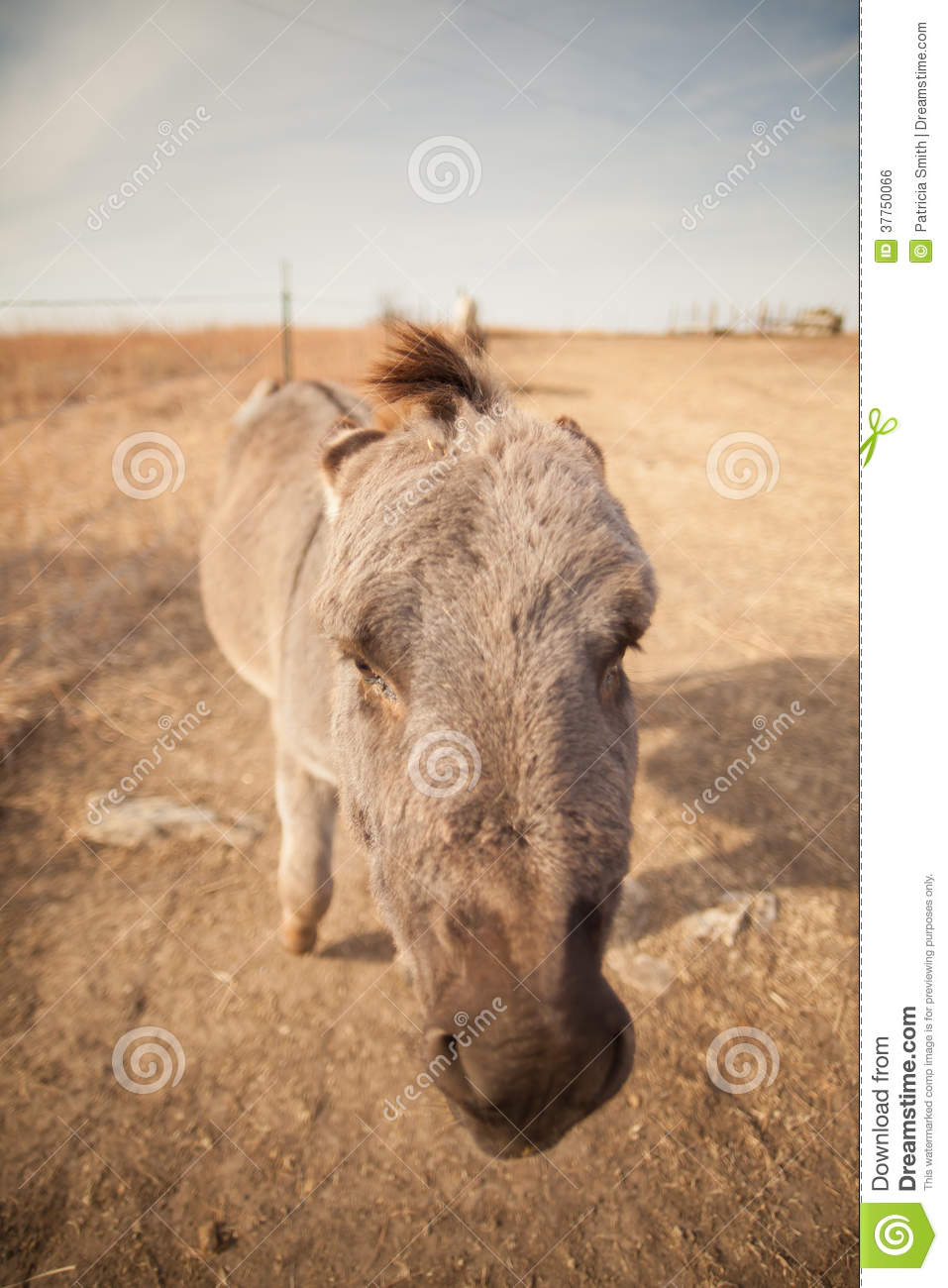 Vertical wide angle portrait of an ugly jackass miniature donkey.