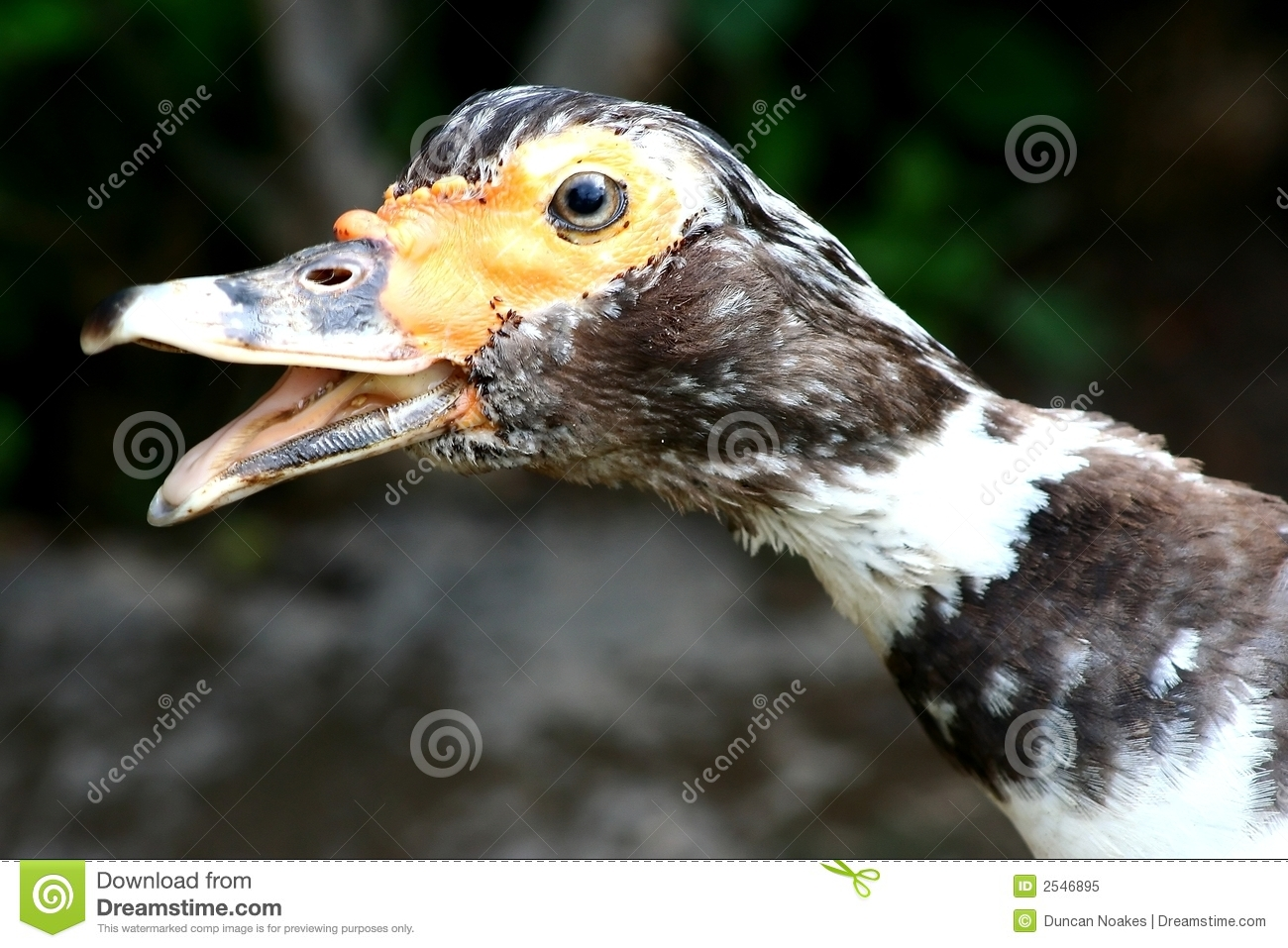 Ugly Duck Royalty Free Stock Photo - Image: 2546895