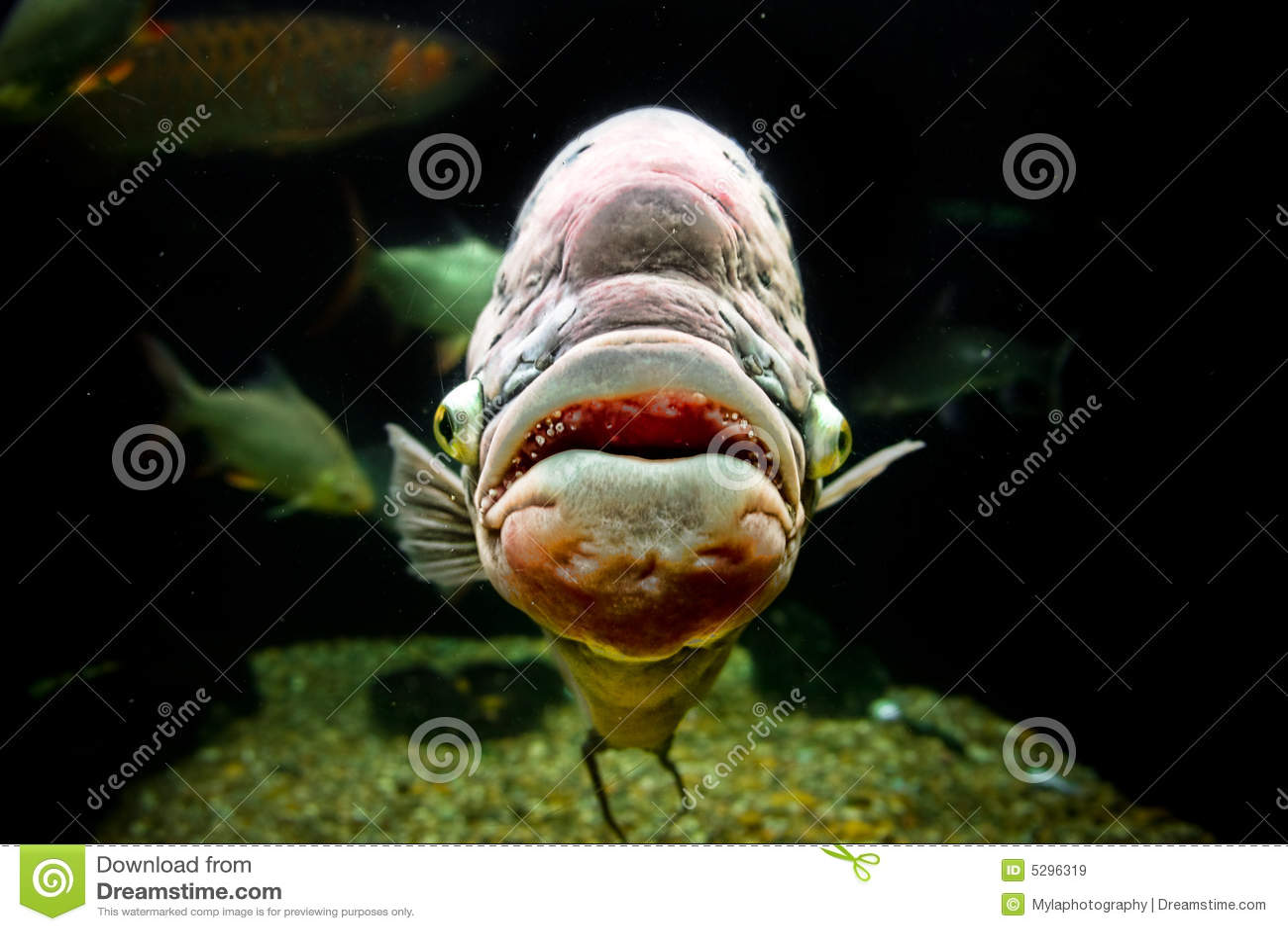 Ugly freshwater aquarium fish - Ugly Fish Royalty Free Stock Images