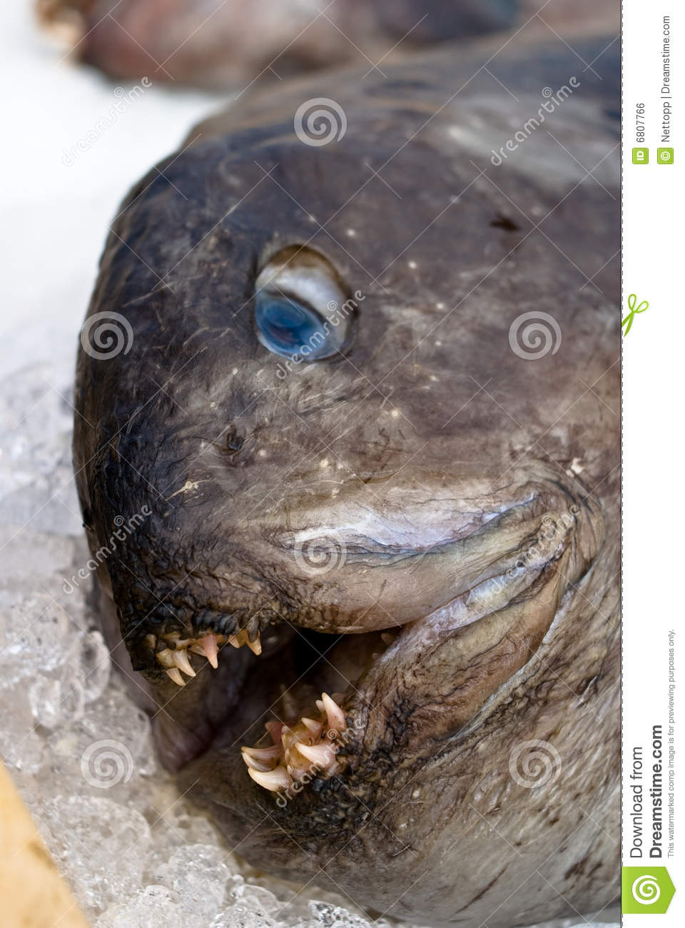 Ugly fish stock photo. Image of teeth, scary, water, iceland - 6807766