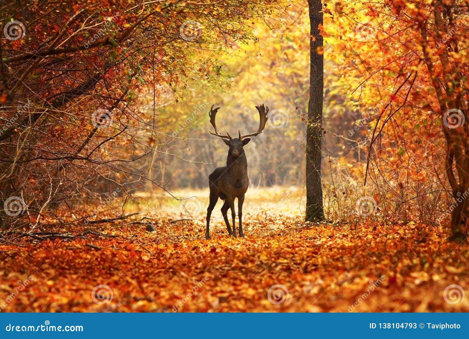 Ugorów rogaczy jeleń w pięknym jesień lesie