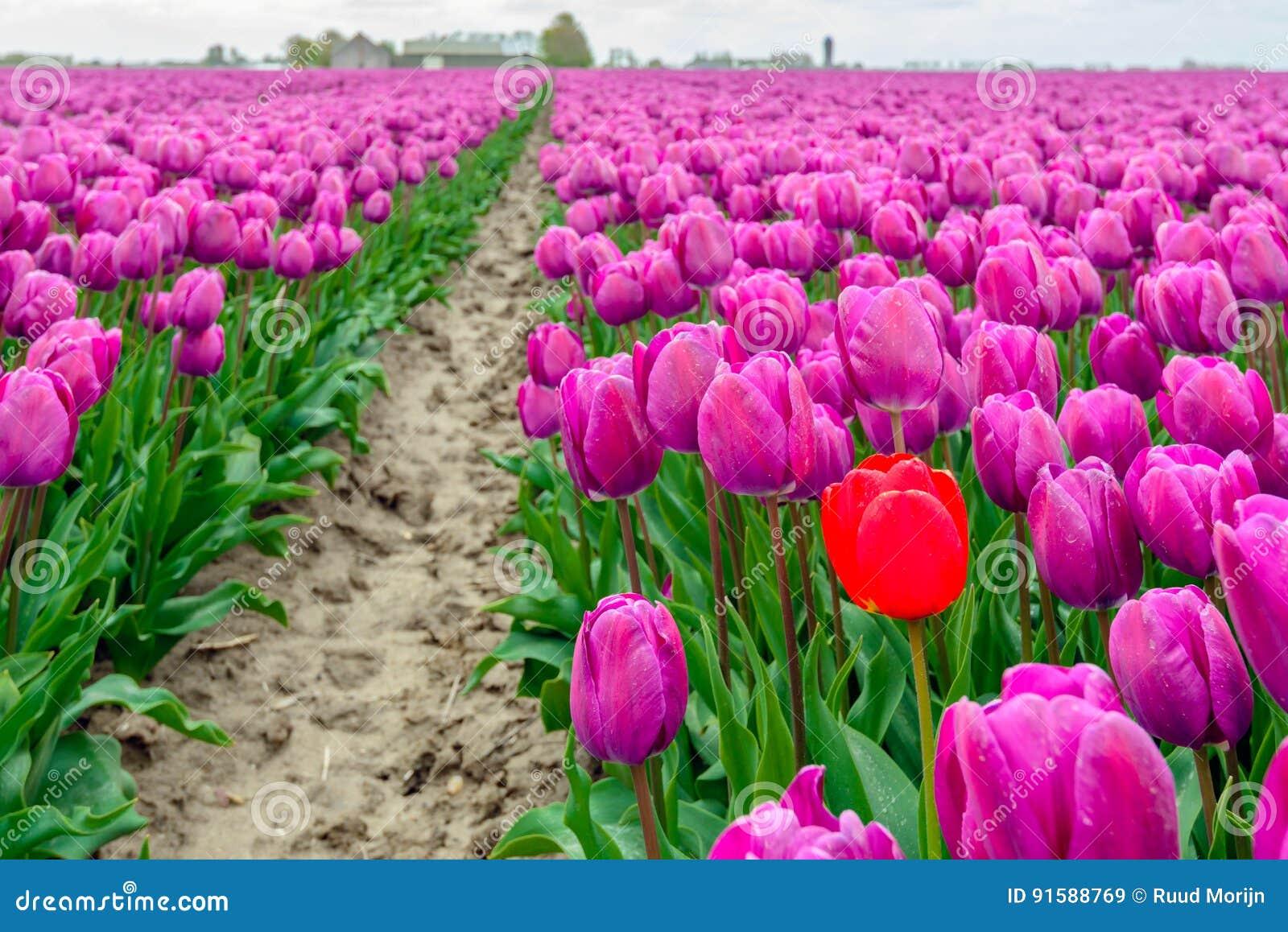 Uit slaand rode tulpentribunes boven de menigte van gemeenschappelijke purp