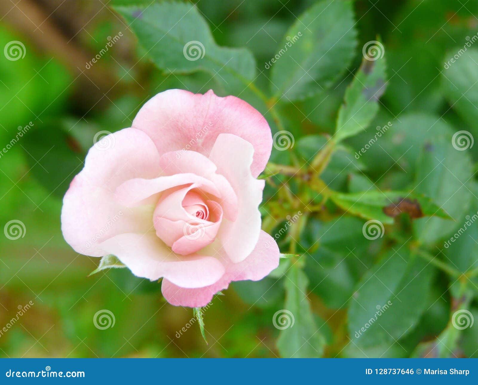 Uiterst kleine bleek - roze nam rosaceae toe