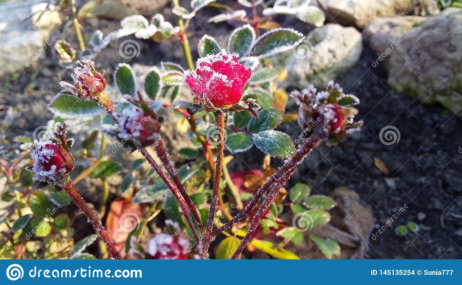 Uiterst kleine miniatuur rood nam in koude en ijzige de herfsttuin toe
