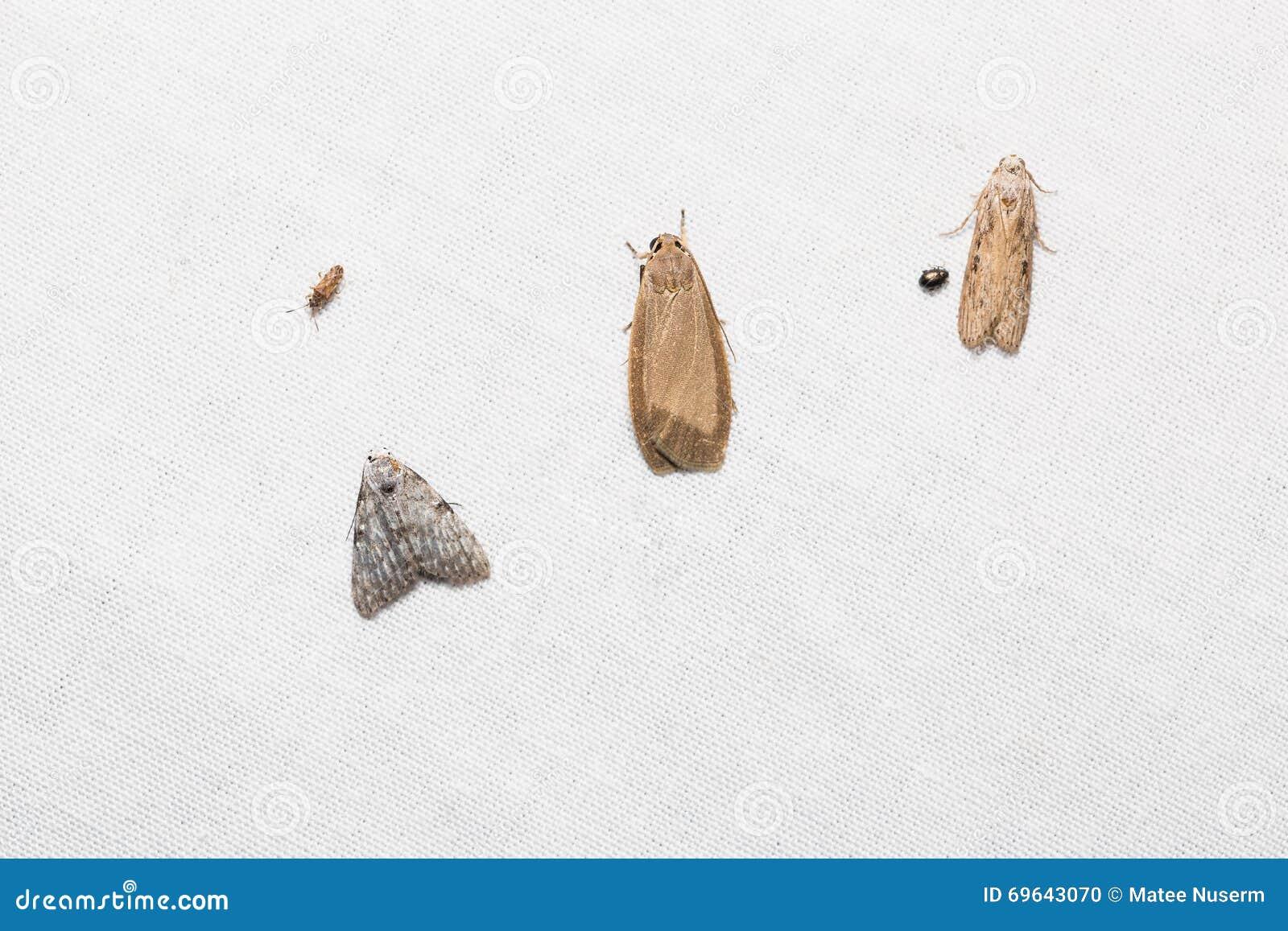 uiterst kleine motten op het witte scherm stock foto afbeelding bestaande uit dier ongedierte. Black Bedroom Furniture Sets. Home Design Ideas