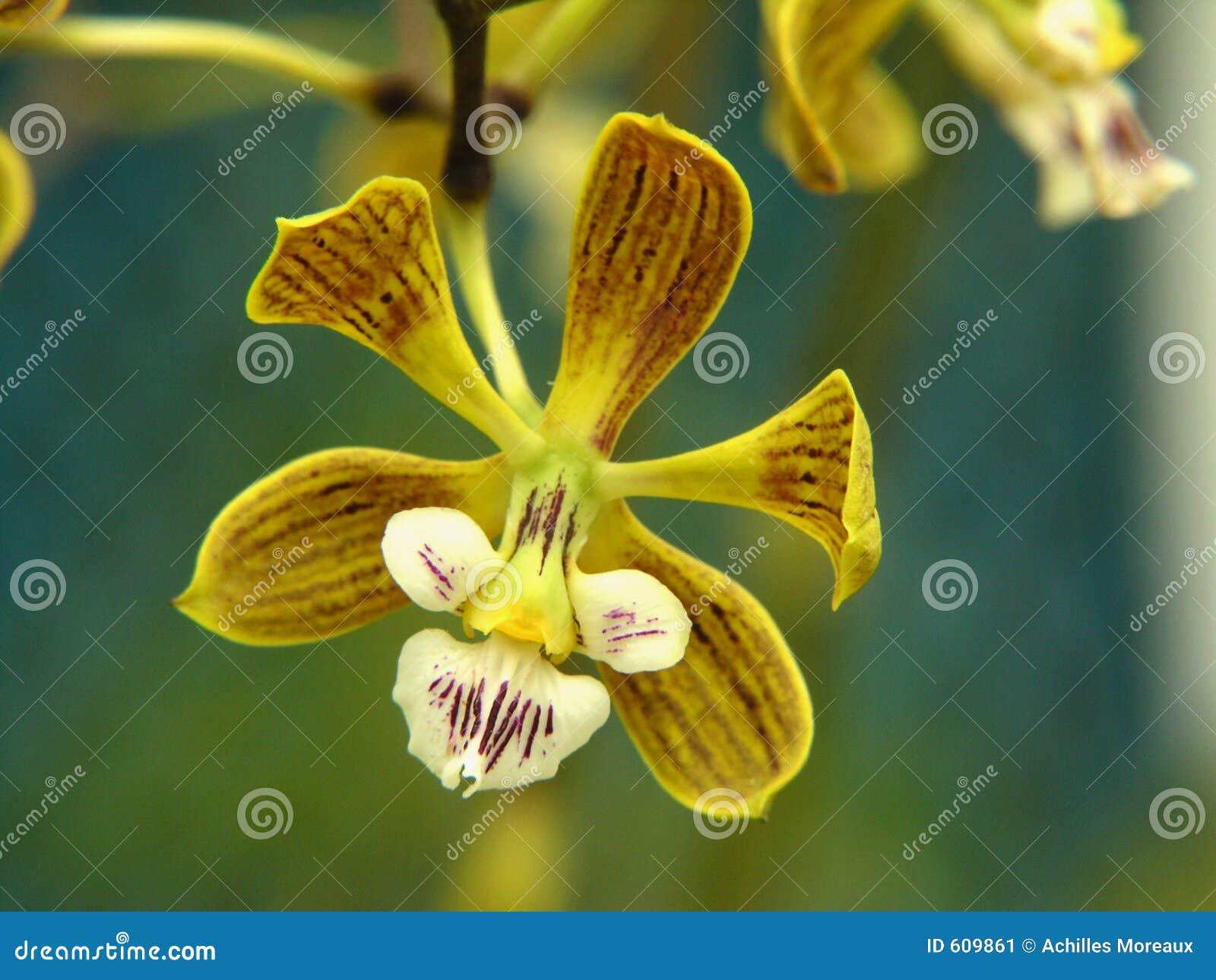 Uiterst kleine orchidee
