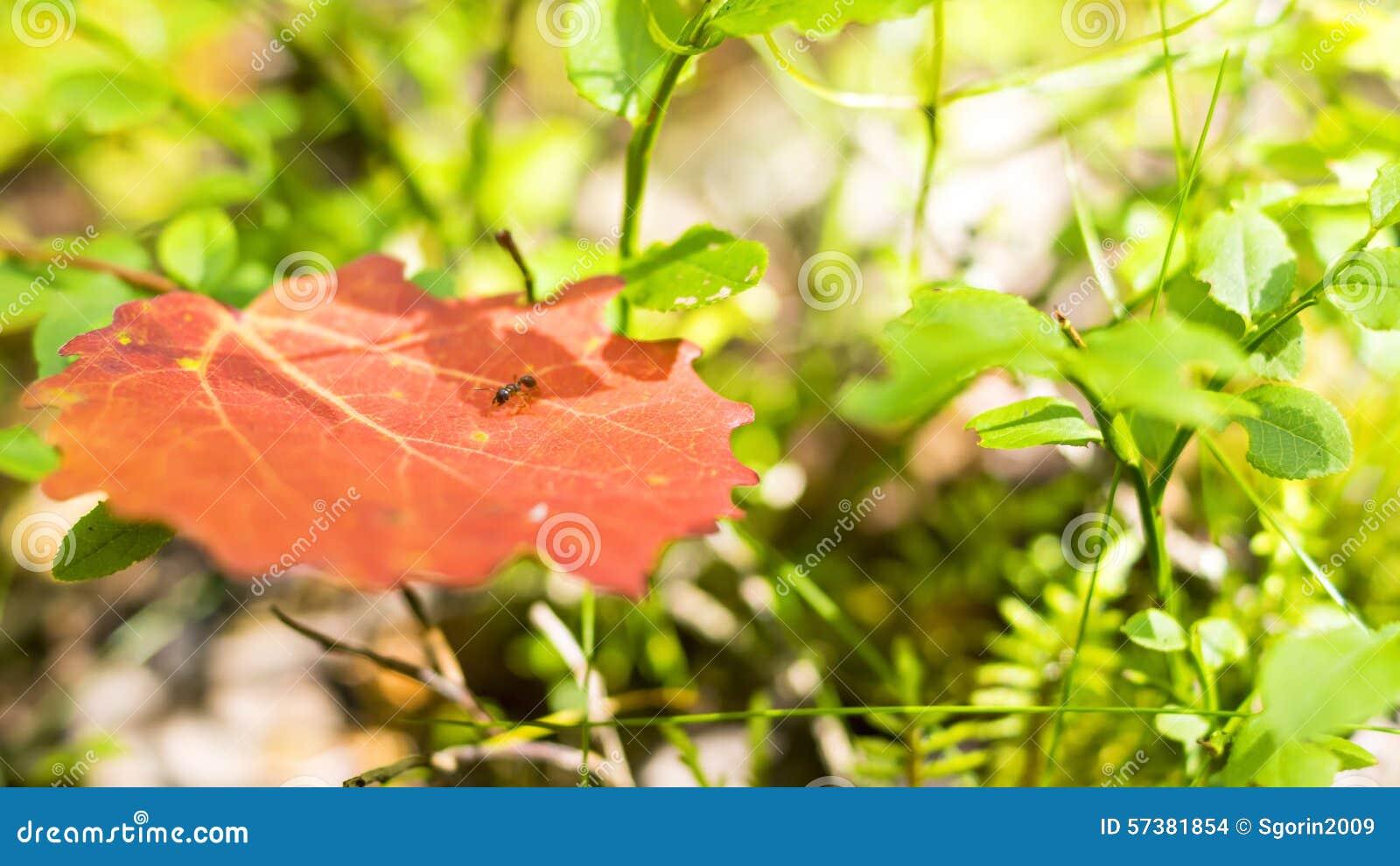 Uiterst kleine rode mier op blad in bos
