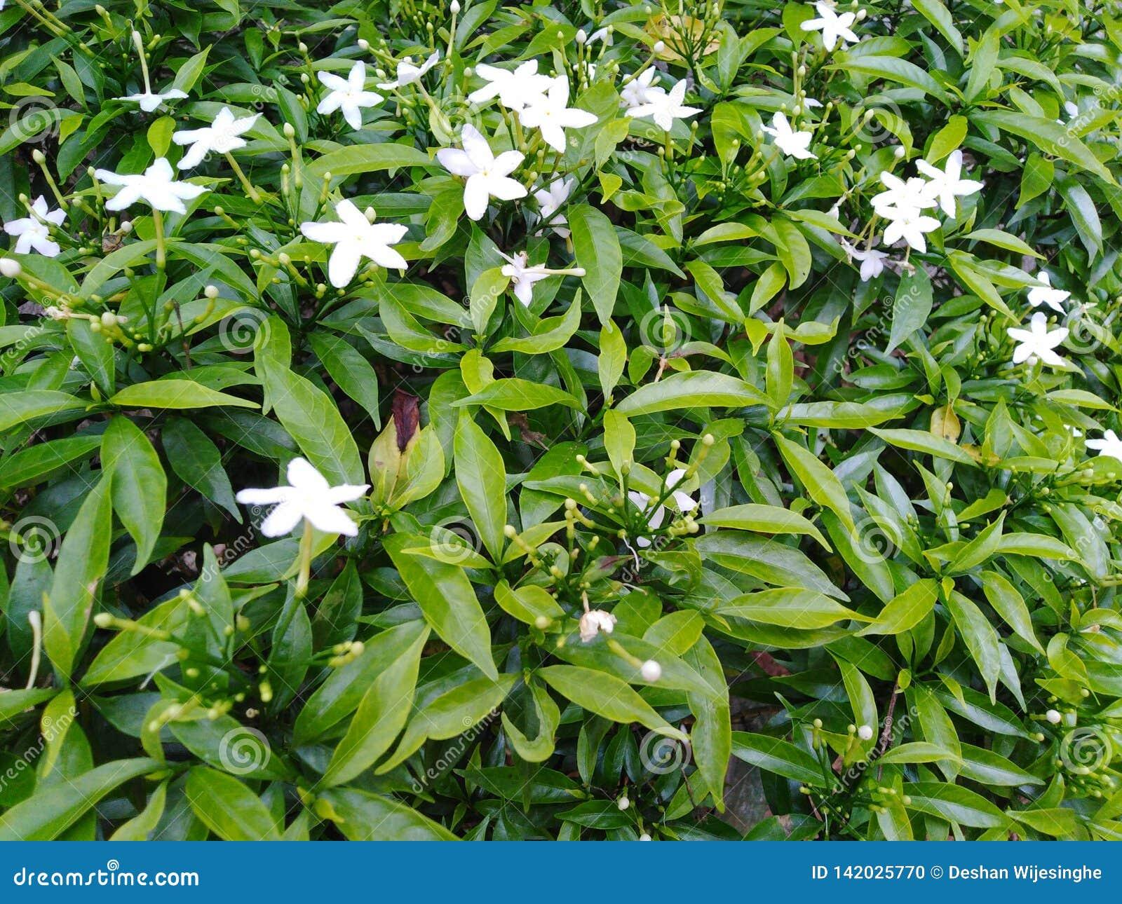 Uiterst kleine witte tuinbloemen