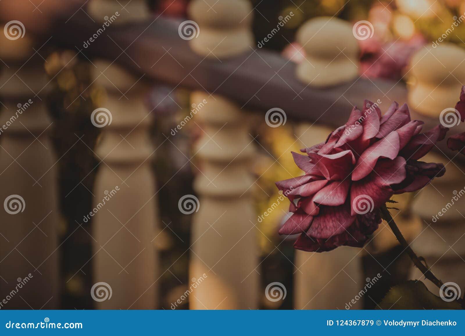 Uitstekend nam in de tuin toe De stemming van de herfst Vele roze en magenta asters gedempte tonen