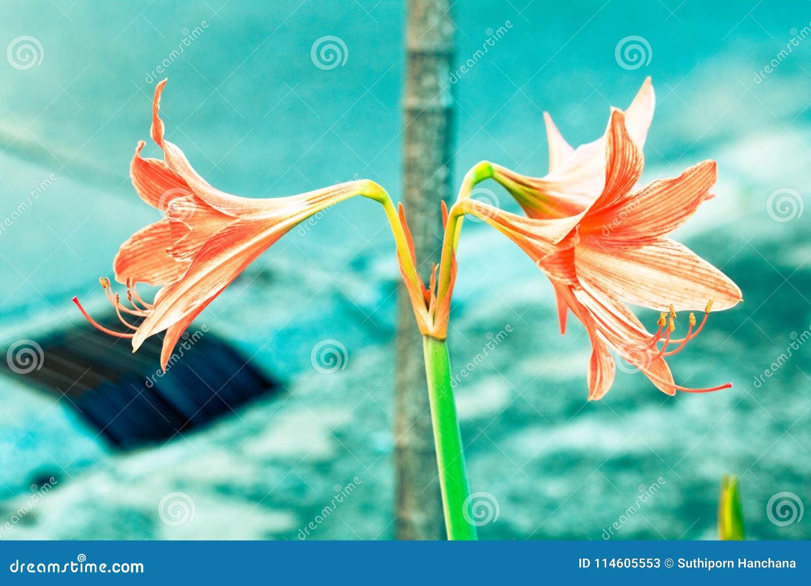 Uitstekende Amaryllis-bloemenpastelkleur aan Creatief patroon