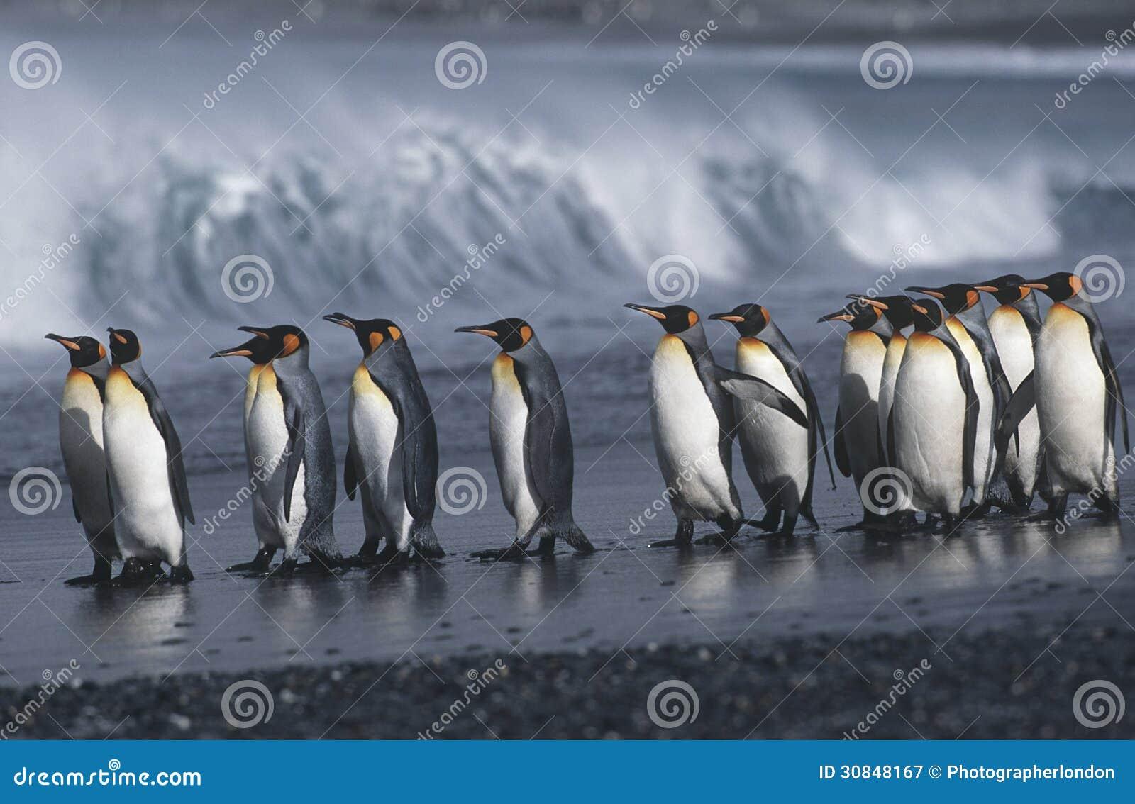 UK Południowego Gruzja wyspy kolonia królewiątko pingwiny maszeruje na plażowym bocznym widoku