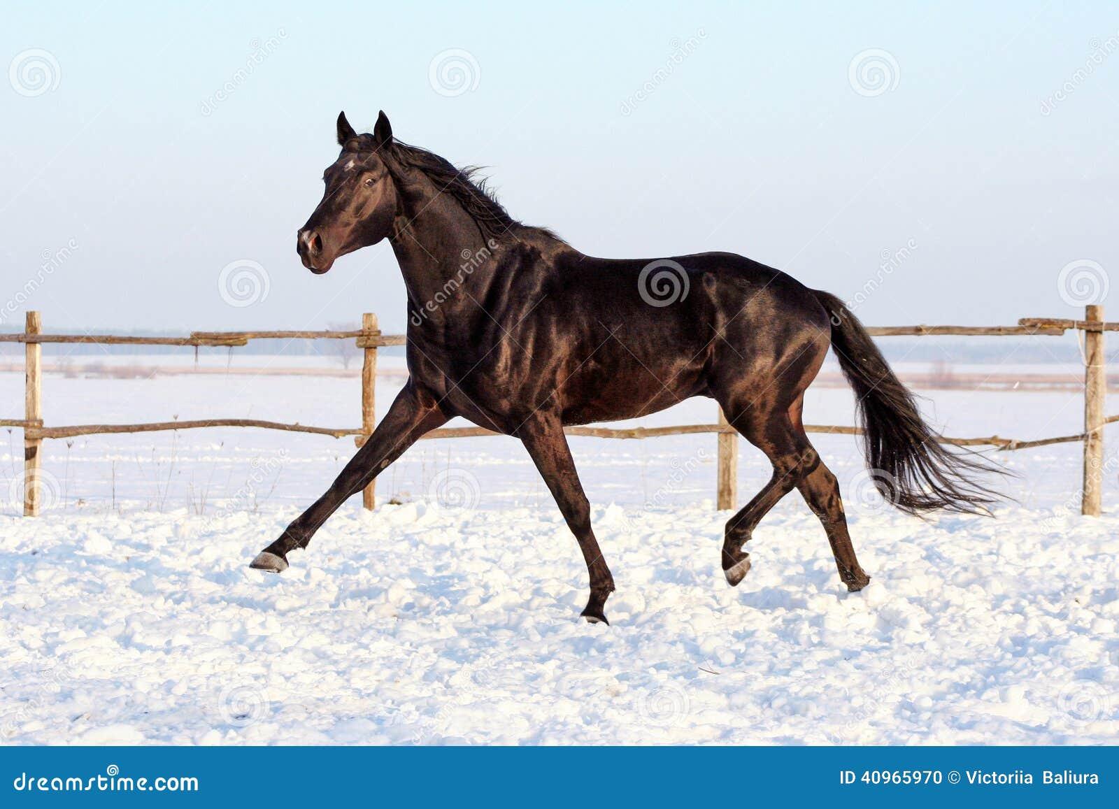 Ukrainian Horse Breed Horses Stock Photo Image Of Stallion Beautiful 40965970