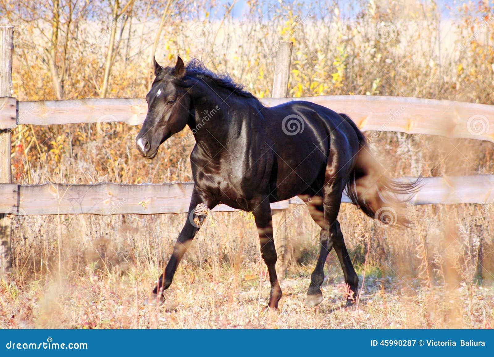 Ukrainian Stallion Horse Breed Stock Image Image Of Ukrainian Black 45990287
