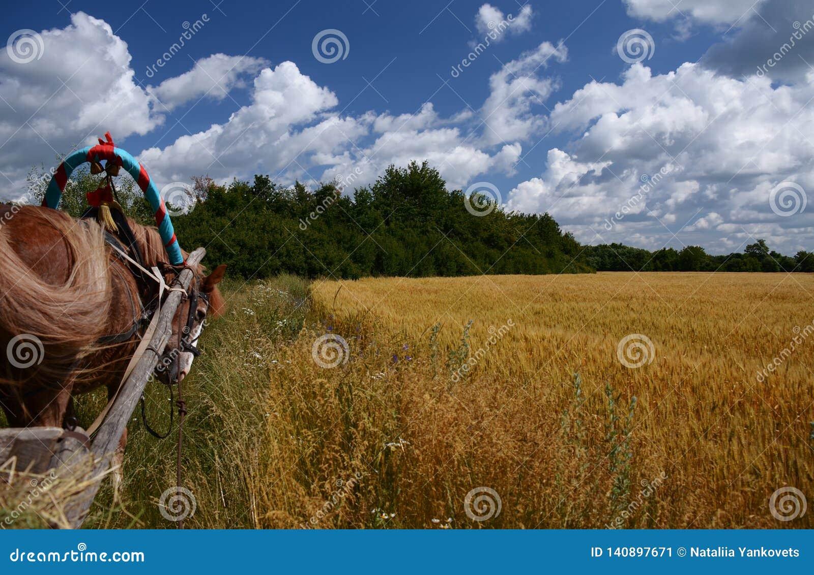Ukrainische Sommerlandschaft mit Weizenfeldern und blauem Himmel