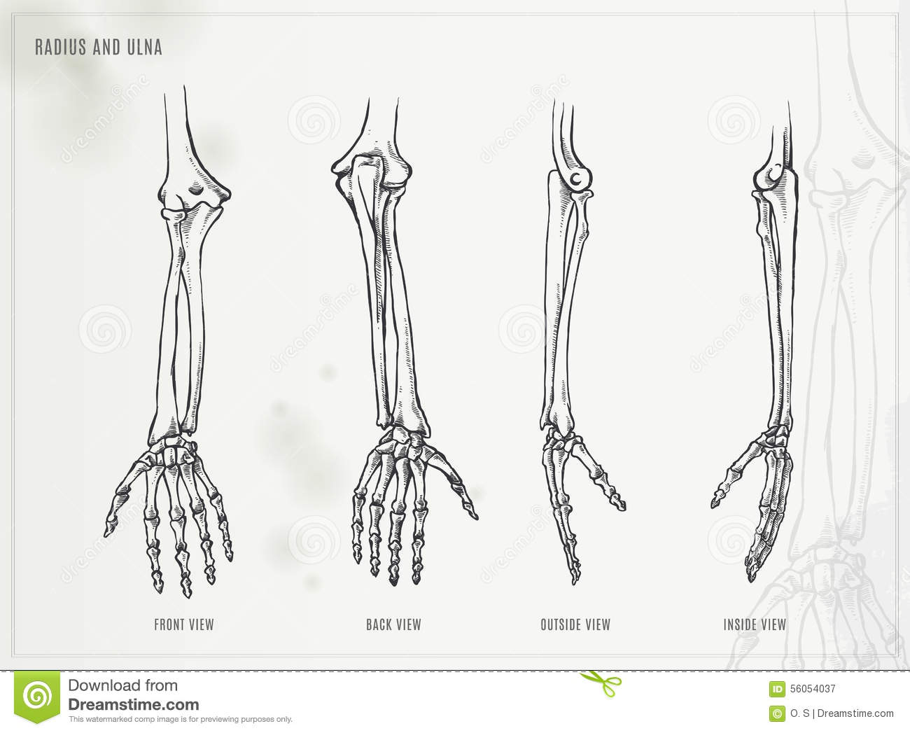 Ulna and radius stock vector. Illustration of metacarpal - 56054037
