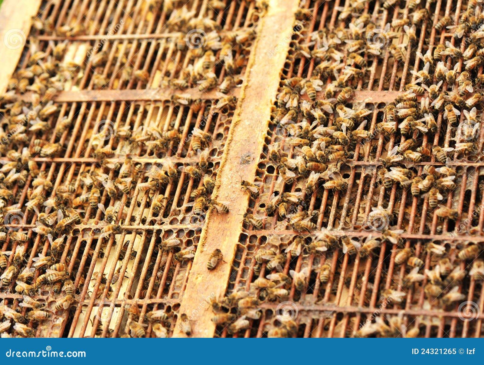 Ulowe pszczoły