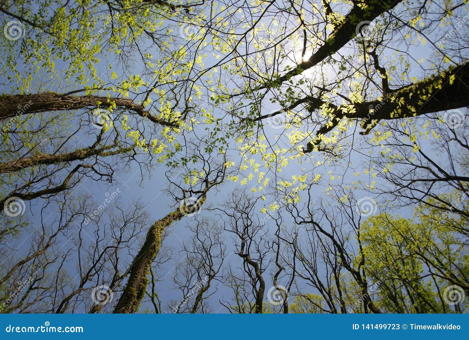 Ultra-brede hoekmening van gouden zonlicht in treetops
