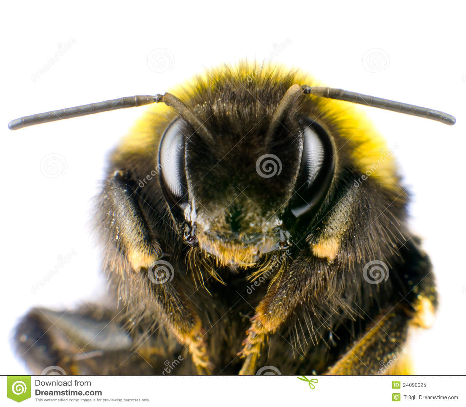 Ultra Macro Of Bumblebee Head With Antennas Stock Image ...