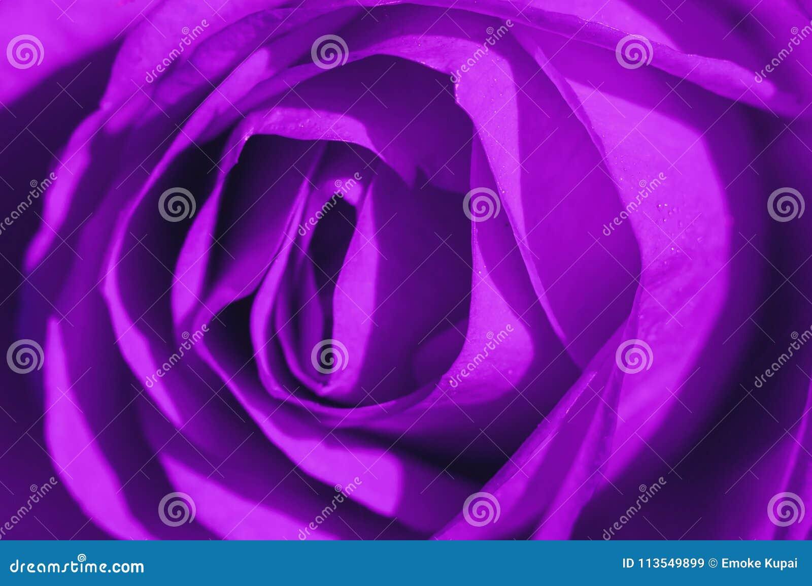 Ultraviolet Rose Macro