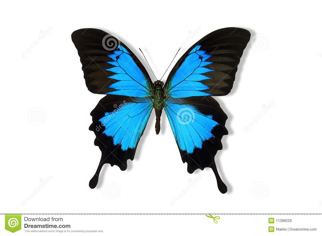 Ulysses Butterfly Ulysses Butterfly  Papilio