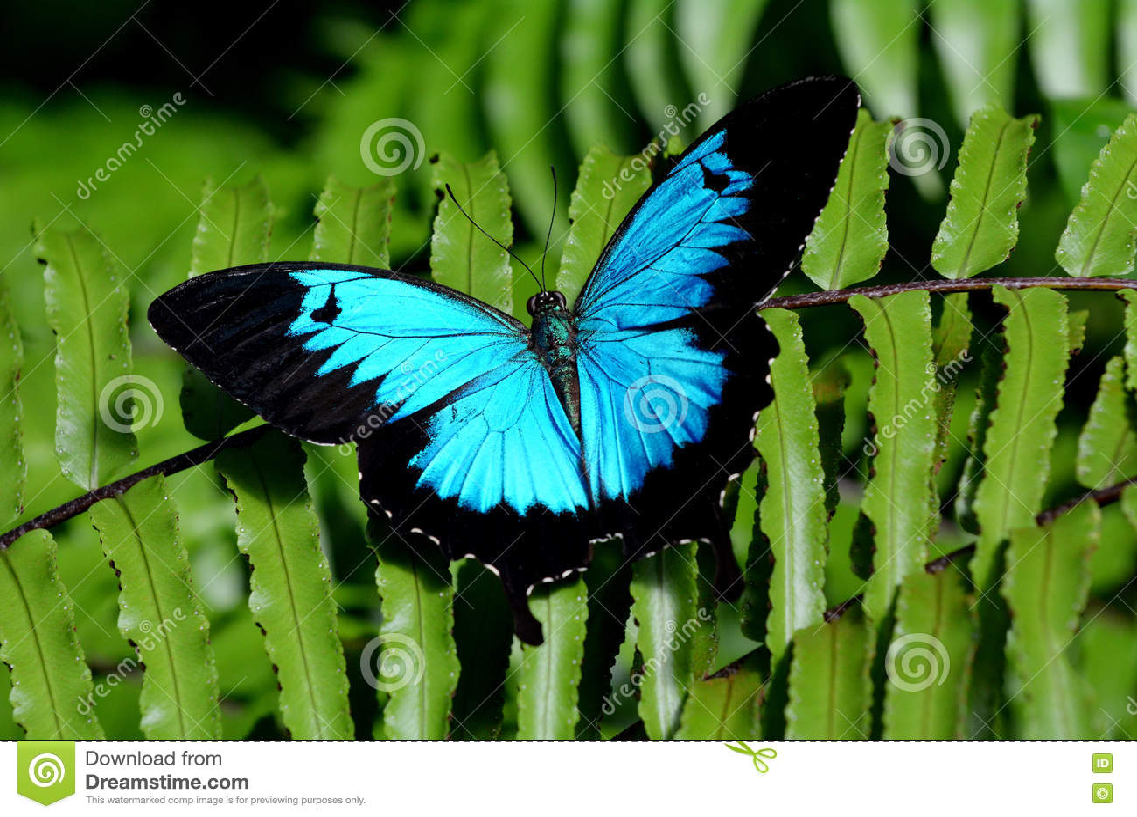 Ulysses Swallowtail motyl nad widok