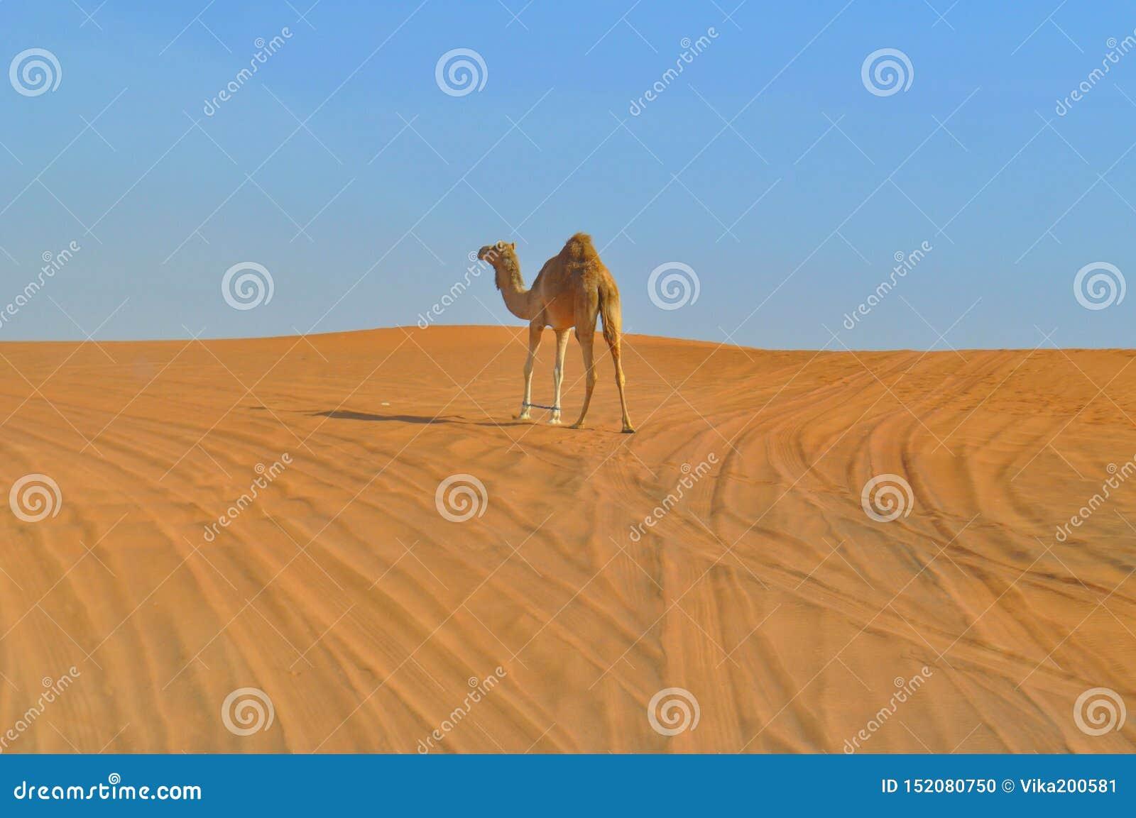 Um único-humped camelo no deserto ilimitado