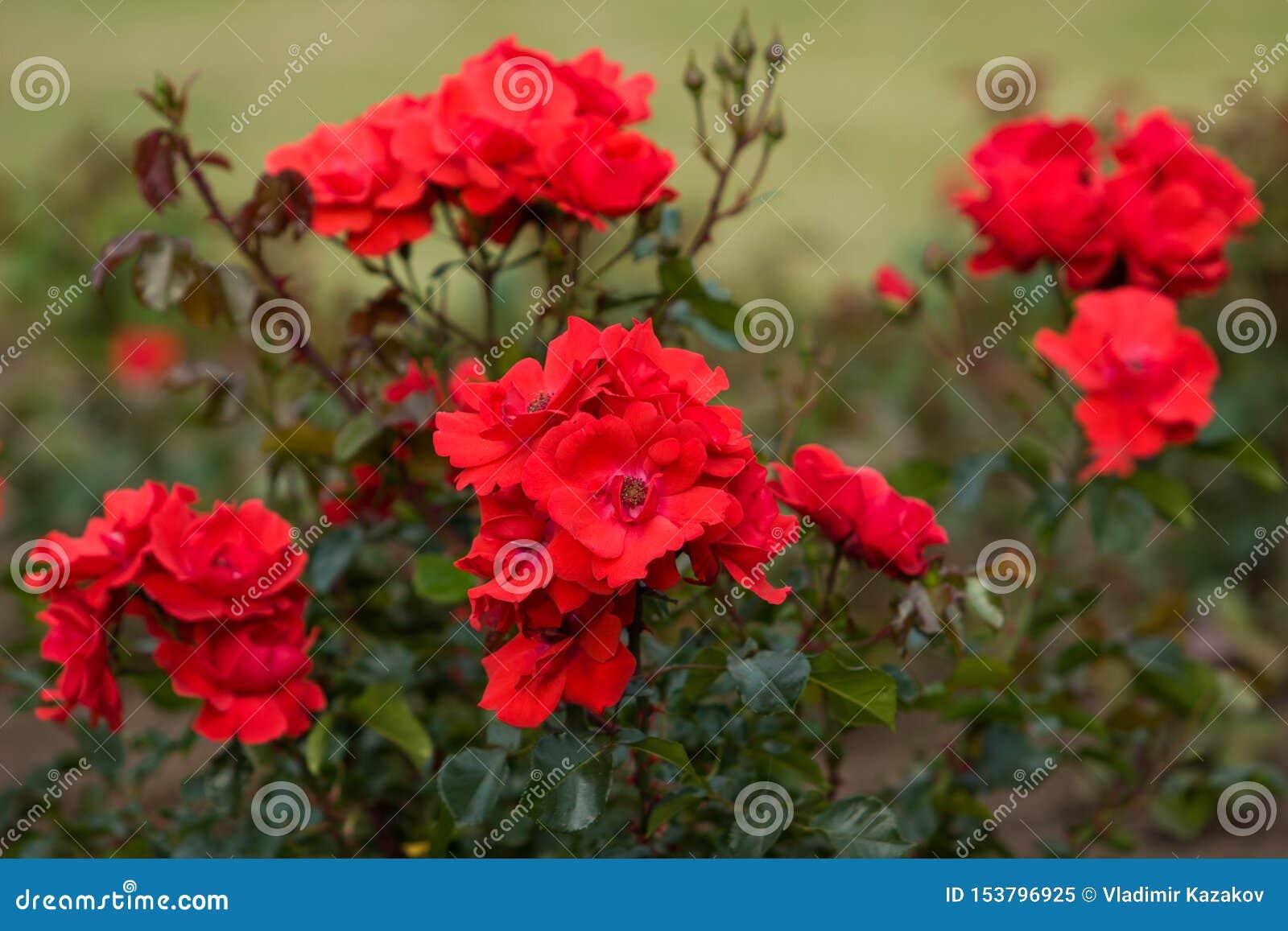 Um arbusto com as rosas vermelhas das flores e um arbusto verde