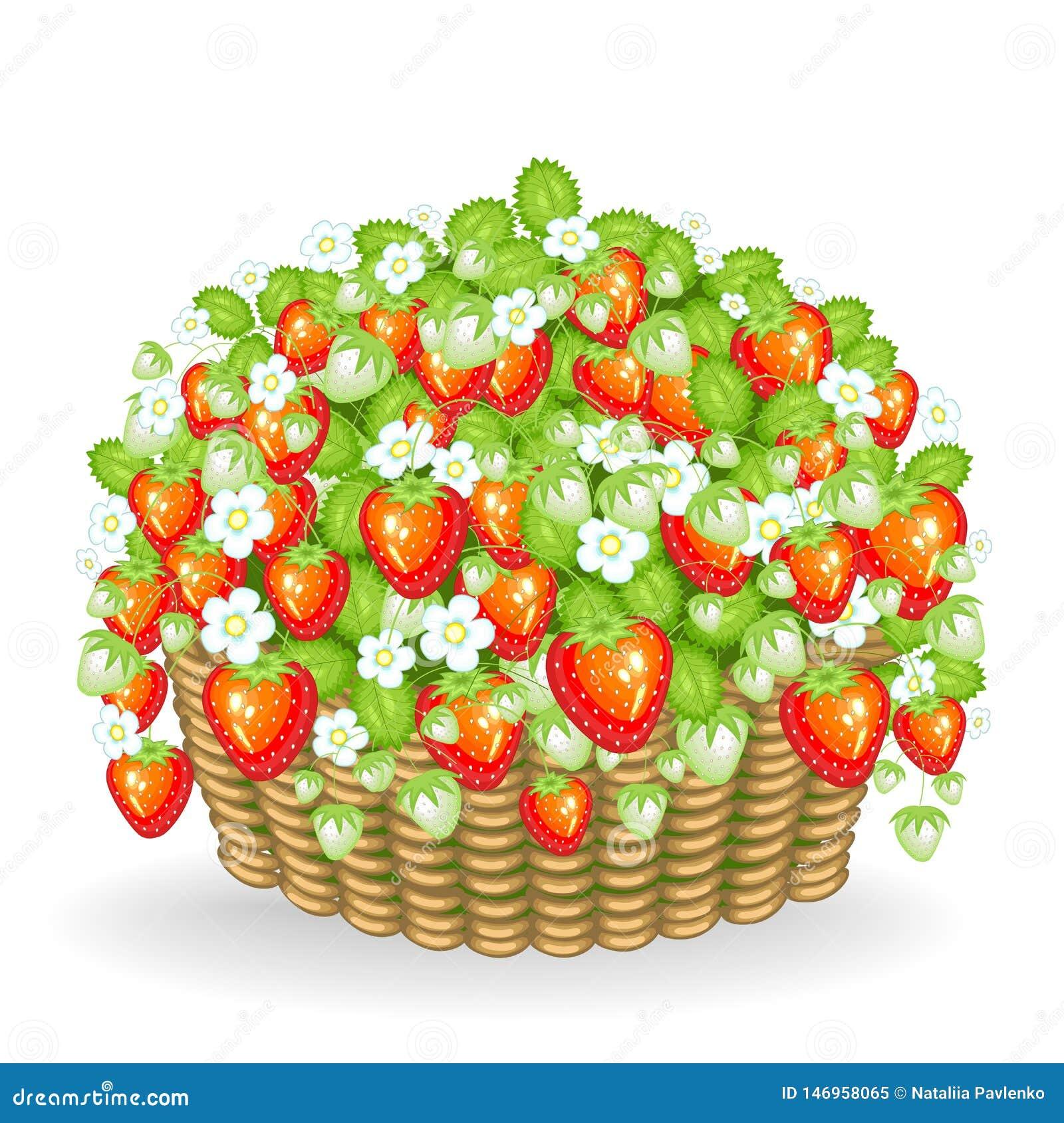 Um arbusto das bagas cresce na cesta Morangos maduras, suculentas, deliciosas Uma fonte de vitaminas e de microelementos úteis Ve