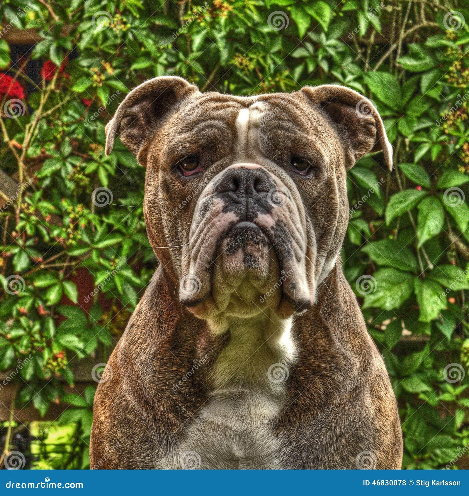 Um artigo na cabeça de Bull Doggs em HDR