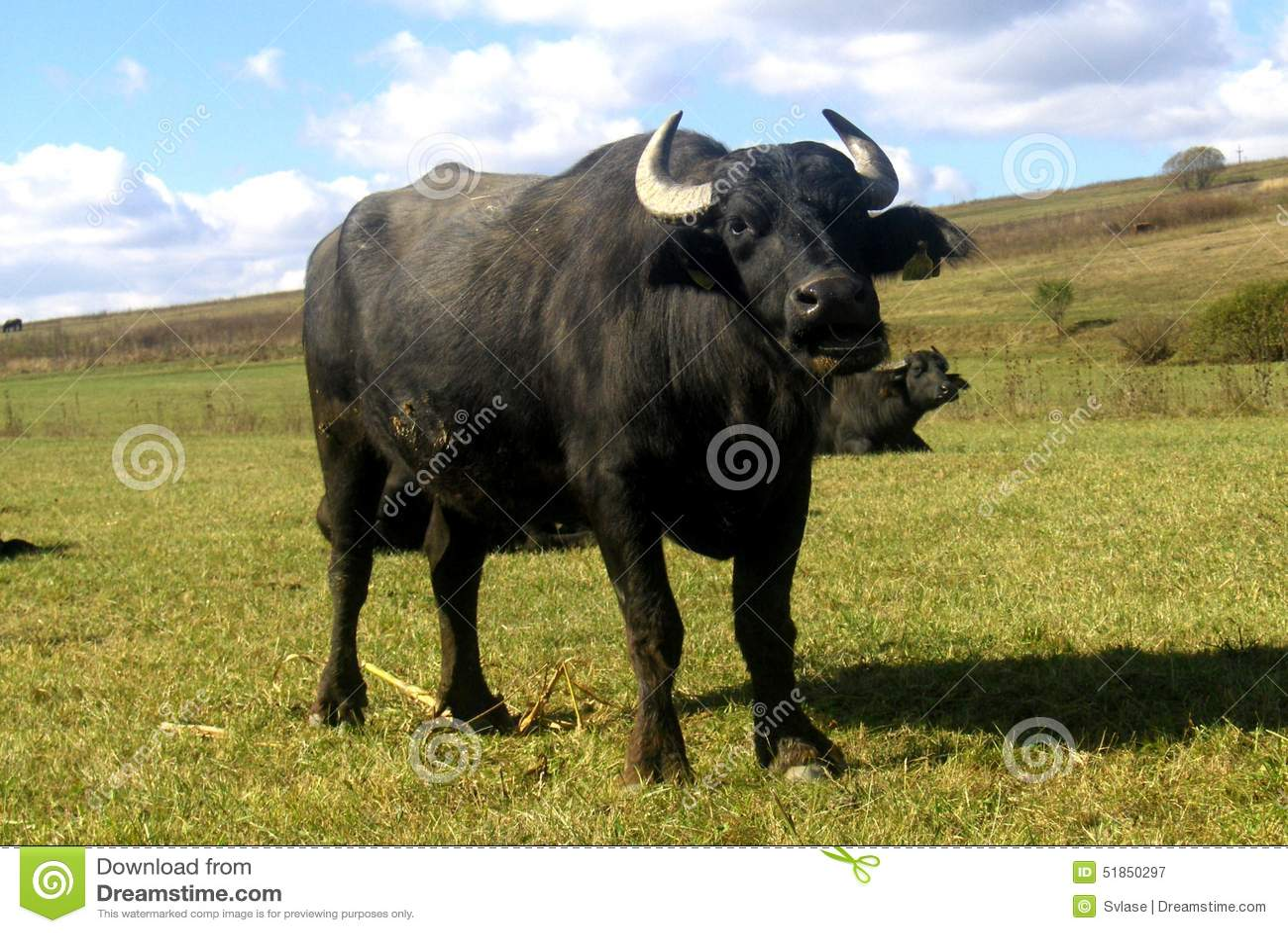 Um búfalo que descansa no meio-dia