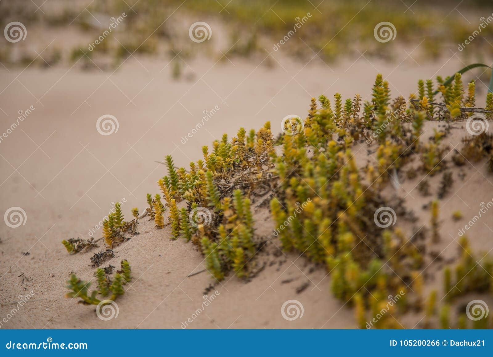 Um beira-mar pequeno, brilhante planta o crescimento na areia Cenário da praia com flora local